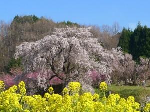 又兵衛桜と菜の花