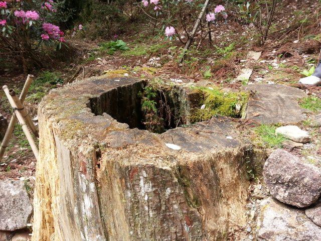 五重塔に直撃した杉の切り株