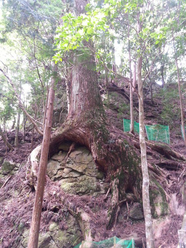 巨大な石に巻き付いた杉の木